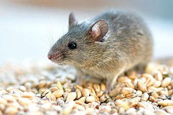 Чего боятся мыши?