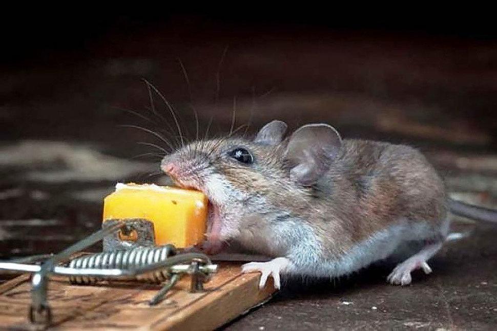 Принцип работы отпугивателей мышей, какой лучше купить