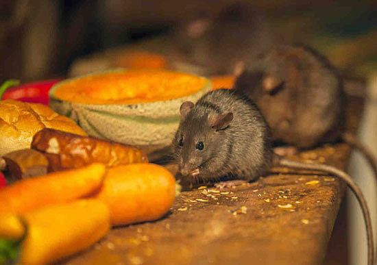 Как быстро избавиться от крыс и мышей?