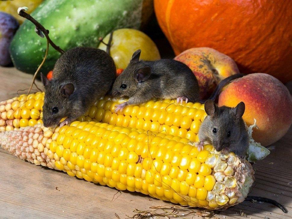 Как воздействуют отпугиватели на крыс и мышей?