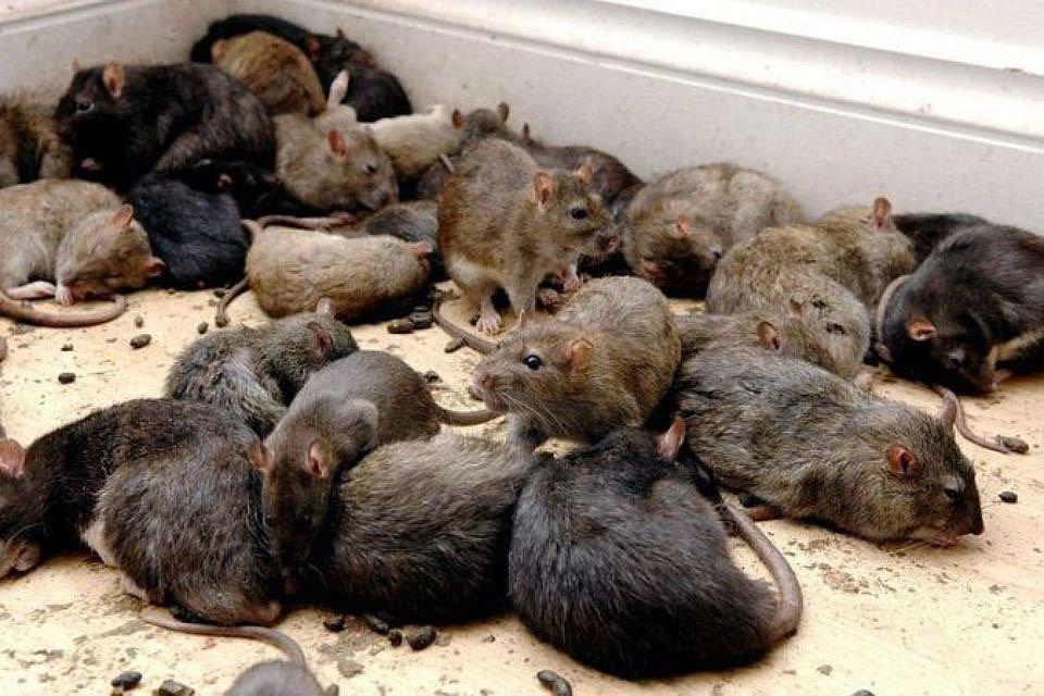 Как избавиться от мышей и крыс в частном доме