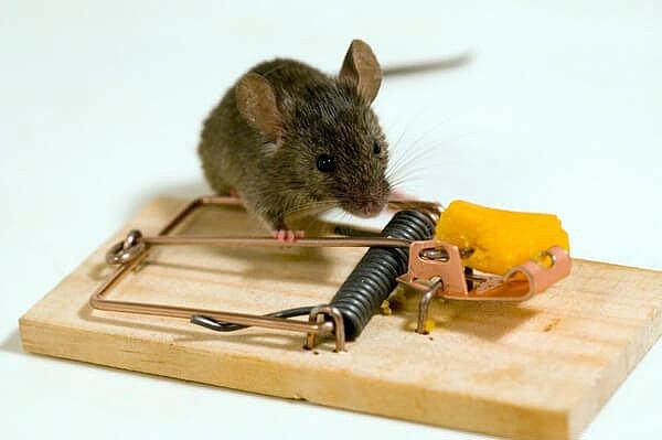 Физические и биологические способы борьбы с мышами
