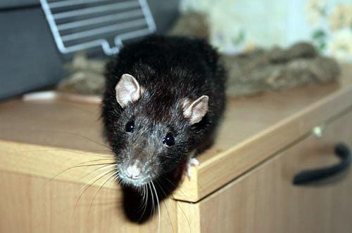 Как избавиться от мышей и крыс в частном доме, квартире